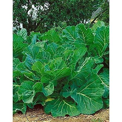 Portuguese Kale Seeds (25 Seeds) : Garden & Outdoor