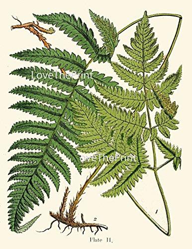 Botanical-Set-of-12-Prints-Unframed-Antique-Beautiful-Ferns-Green-Forest-Nature-Home-Room-Fern-Decor-Wall-Art