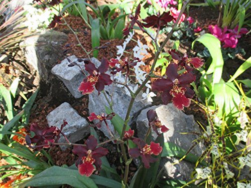 Oncidium alliance wilsonara space from the Orchid family with over 28000 species .