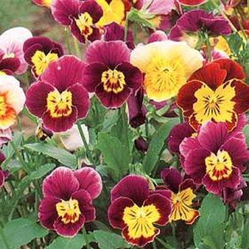 Fresh 1000 seeds - Viola Bambini Flower Seed