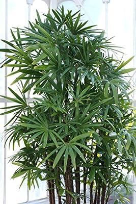 10 WINDMILL PALM TREE Shrub Broadleaf Lady Rhapis Excelsa Seeds Houseplant