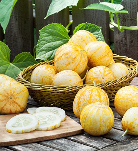 lemon-cucumber-seeds-100-count-type-cucumis-sativis-spring-sale-islas-garden-seeds-heirloom-seeds-no