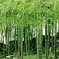 100Pcs Bamboo Seeds Black Purple Green Phyllostachys Pubescens Moso-Garden Plants - 100pcs Green Bamboo Seeds