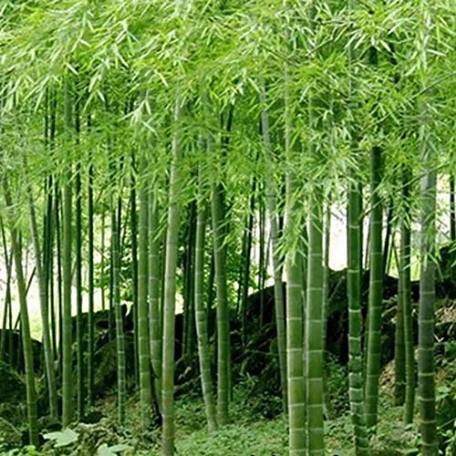 100Pcs Bamboo Seeds Black Purple Green Phyllostachys Pubescens Moso-Garden Plants - 100pcs Green Bamboo Seeds