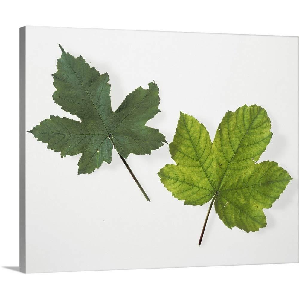 Leaf Chlorophyll Deficiency Canvas Wall Art Print, 20''x16''x1.25''