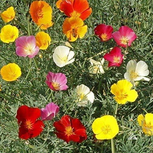 Pavot Californien 25 graines Fleurs ESCHSCHOLTZIA