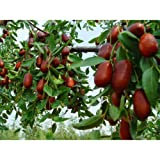 50 Chinese Date Tree Seeds, Ziziphus Jujube Var Spinosa - Dehulled