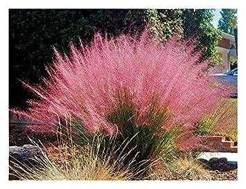 Muhlenbergia capillaris seeds Ziergras winterhart 20 Samen Rosa Haargras