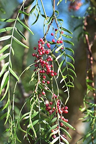 California Pepper Tree Live Rooted Plant 4-6 inch Evergreen Shade Tree Pirul (Trees California Pepper)