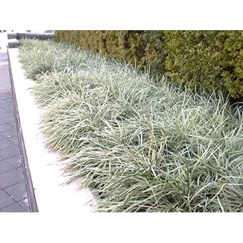 Outlet Aztec Grass Qty 15 Live Plants Variegated Liriope Ophiopogon