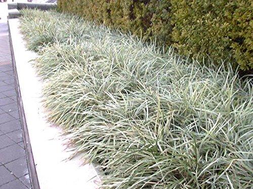 Amazoncom Aztec Grass 15 Live Plants Variegated Liriope
