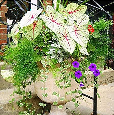 Amazon Com 100pcs Janpanse Bonsai Coleus Seeds Foliage Plants
