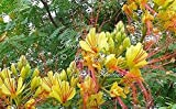 10pcs Caesalpinia Gilliesii Yellow Bird of Paradise Seeds Low Maintenance Tropical