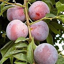 Methley Plum Tree - Fruit - Healthy Bare Root Sapling - 1 each with Bonus