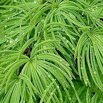 Amazon.com: pseudolarix seeds, Money pine tree seed bonsai Landscape ...