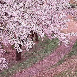 venta caliente 10 PC semillas de sakura japonés semillas de flor de cerezo orientales plantas Bonsai para el hogar y el jardín
