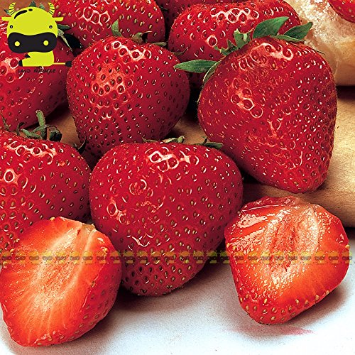 Seed Fruits Vegetable Fruit Seed Camarosa red Strawberry Seeds, 100 Seeds/Pack, Giant Strawberry Organic Fruit/Vegetables Non-GMO Bonsai Pot for Home Garden ()