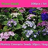 Novel Plant Florists Cineraria for Planting 300Pcs, Beautifying Balcony of Flower, Pericallis Hybrida B. Nord.