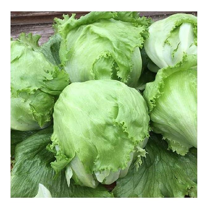 David's Garden Seeds Lettuce Crispino Iceberg SL4443 (Green) 500 Non-GMO, Organic Seeds