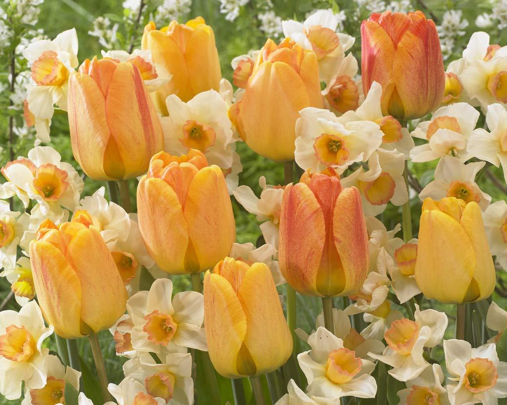 Van Zyverden 87239 Orange Spring Flowering Garden Blend Set of 25 Bulbs, 12/16 cm, by VAN ZYVERDEN