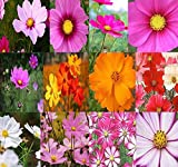 Big Pack - Cosmos USA Mix (8,000+) Flower Seeds By MySeeds.Co (Big Pack - Cosmos Mix)