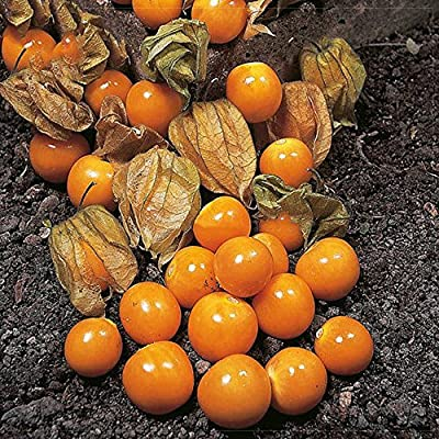 Best Garden Seeds Natural Heirloom Cape Gooseberry (Physalis Peruviana) Seeds, different varietes seeds, professional pack, orange yellow red organic fruits