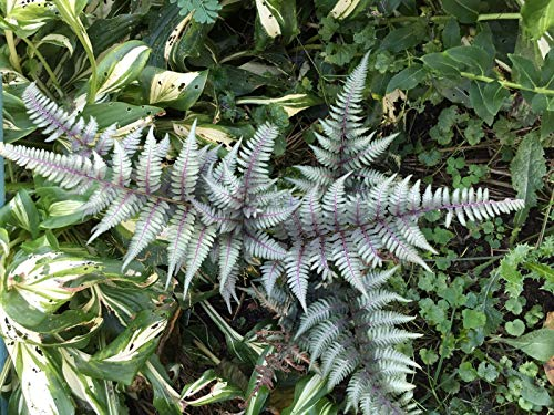 (250 Japanese Painted Fern Spores/Seeds)