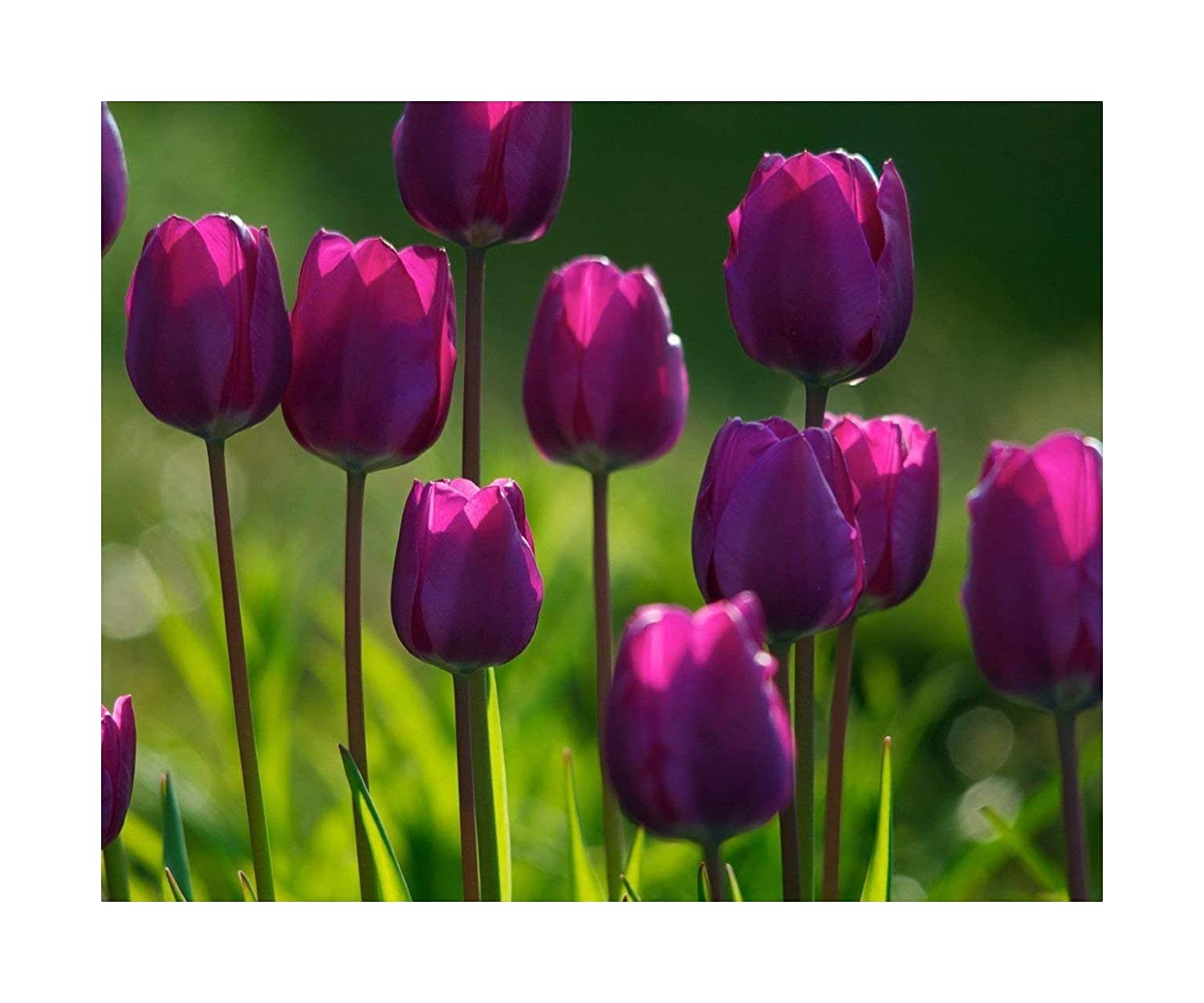 25 Tulip 'Purple Flag' Triumph Tulips Spring Flowering Bulbs, Flowering Guarantee by Plug Plants Express Limited