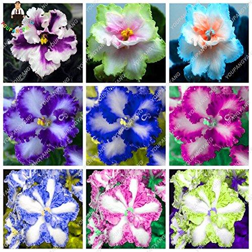 African Violet Flowering (100 pcs/bag Rare african violet seeds, bonsai flower seeds, garden flowers violet seeds perennial herb plant pot for home garden)