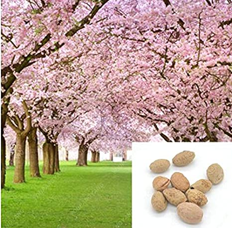 1 Pack About 10 Pieces Pink Cherry Blossoms Tree Seeds Sakura Seeds Colour Cherry Blooming Plants Free Shipping Amazon Co Uk Garden Outdoors