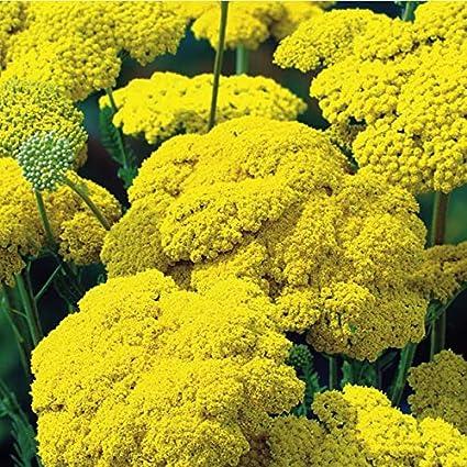 Fernleaf Yarrow Flower Review Best Flower Wallpaper