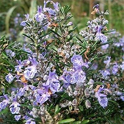 Rosemary- 50 Seeds