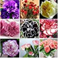 Yongyut Hot Selling 16 Colors Available Carnation Seeds Perennial flowers Potted Garden Plants Dianthus Caryophyllus Flower Seed 300 seeds