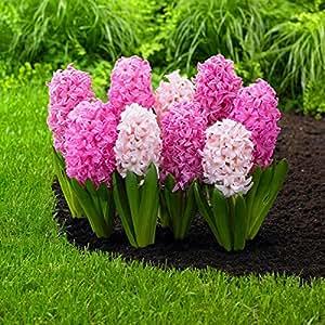 100 PC / bolso semillas Hyacinthus orientalis del jacinto en macetas semillas baratas Bonsai perenne hierba balcón en flor para el jardín de 5
