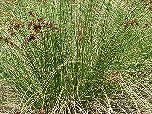 Superb SALT MARSH RUSH / SEA RUSH (Juncus Kraussii) 150 Seeds