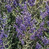 Park Seed Blue Steel Russian Sage Seeds