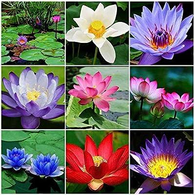 Dozenla Seeds - 10pcs Perennial Bonsai Mini Lotus Seeds Bonsai Plant Seeds Aquatic Plants : Garden & Outdoor