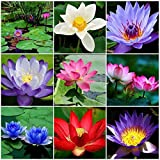 Dozenla Seeds - 10pcs Perennial Bonsai Mini Lotus