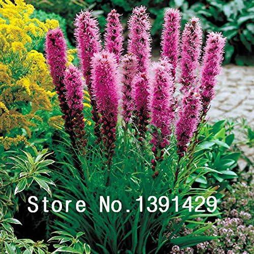 spicata semillas 100pcs Liatris cresta de gallo Flamenco Raras (celosia spicata) Bonsai planta, jardín de flores ornamentales. Los colores mezclados: Amazon.es: Jardín