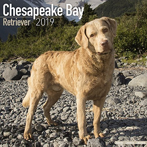 Chesapeake Bay Ret Calendar - Dog Breed Calendars - 2018 - 2019 Wall Calendars - 16 Month by Avonside