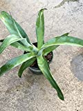 Octopus Agave SMALL Agave vilmoriniana, rooted & healthy, Octopus agave plant with gray-green leaves, does best in USDA zones 10-11