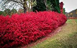 Dwarf Burning Bush ( Euonymus Alatus ) - Quart Pot