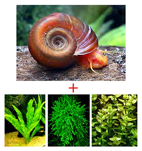 10+ Feeder / Cleaner Ramshorn Snails, 1/6-1/3 inch - Excellent Tank Cleaners + Great Natural Food for your Puffers, Loaches, Crayfish, Turtle!!!