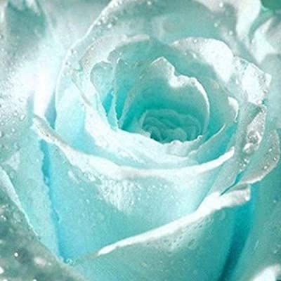 Gsdviyh36 20/50Pcs Rare Light Blue Rose Flower Seeds Garden Fragrant Bonsai Plant Decor, Non-GMO Seeds(100% Pure Live Seed) 50pcs : Garden & Outdoor