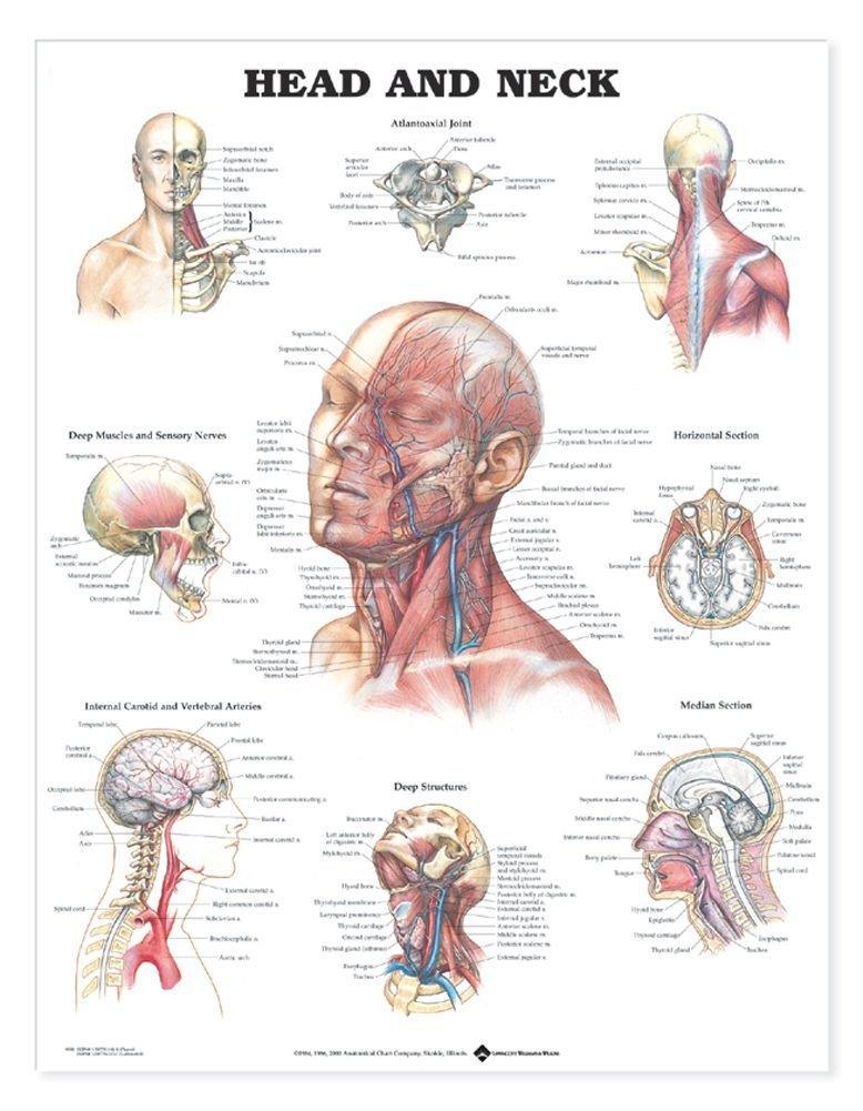 Amazon Anatomical Chart Head And Neck Anatomical Chart