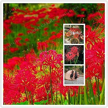 Rojo Lycoris radiata Semillas, (), Semillas Ing estaciones semillas para interior para el hogar Jardín-2 Semillas
