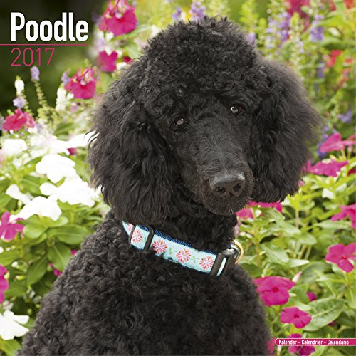 Poodle Calendar 2017 - Dog Breed Calendar - Wall Calendar 2016-2017