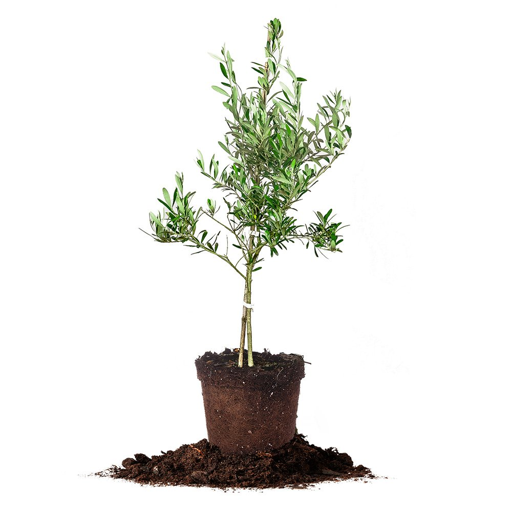 Arbequina Olive Tree - Live Plant, Includes Special Blend Fertilizer and Planting Guide - Edible Fruit - Self Pollinating (4-5FT)