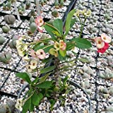 1 Starter Plant of Euphorbia Milli Crown Of Thorns Pink