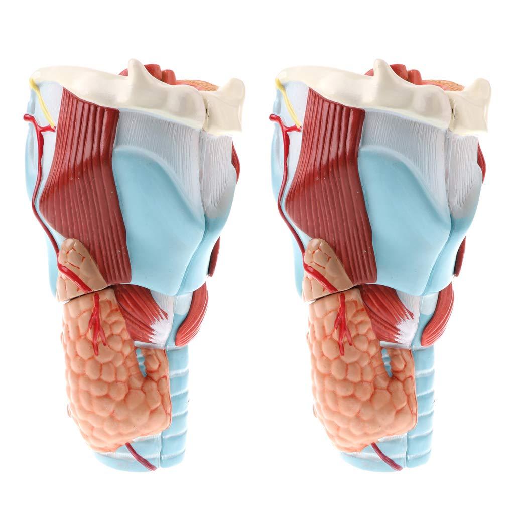 perfeclan Kit de 2 Magnifient 2X Humain 5 Kits De Modèle D'étude Médicale De Pharynx Et De Larynx